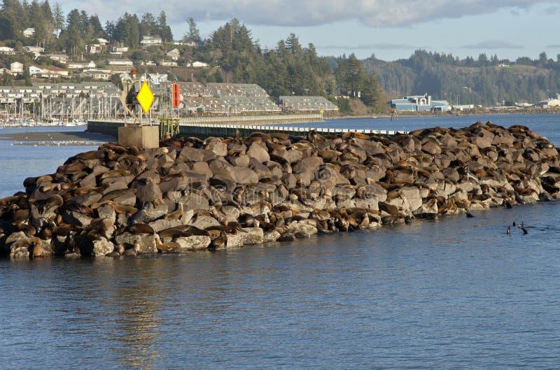 Leões de mar em rochas em Newport Oregon imagem de stock