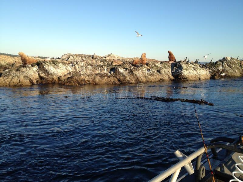 Leões de mar em sua rocha imagem de stock