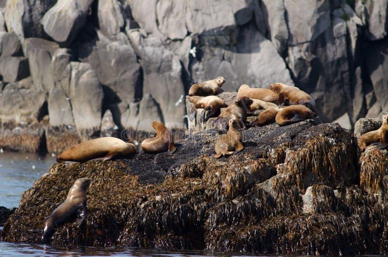 Leões de mar estelares fotos de stock