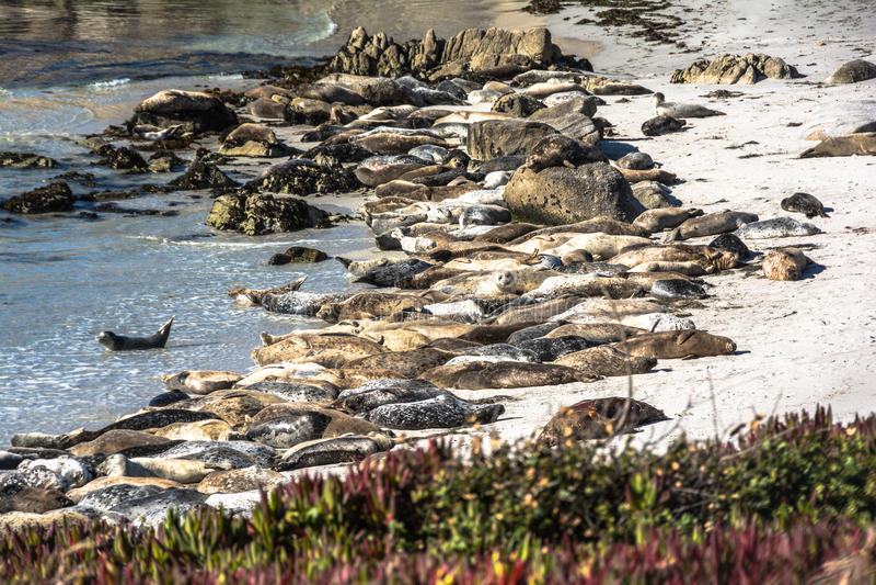Leões de mar na praia de Monterey, Califórnia imagem de stock royalty free