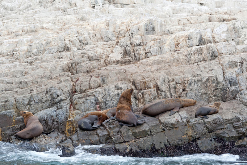 Leões de mar na rocha imagens de stock