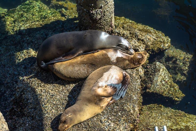 Leões de mar nas rochas, Monterey, Califórnia fotografia de stock