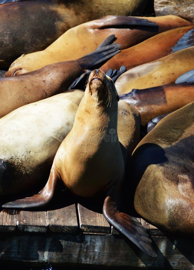 Leões de mar no cais 39, San Francisco fotografia de stock royalty free