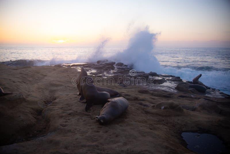 Leões de mar que descansam nas rochas imagem de stock