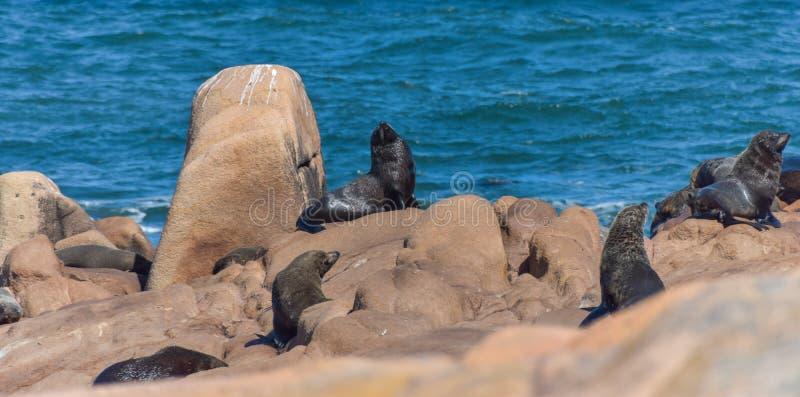 Leões de mar que encontram-se para baixo em rochas fotos de stock royalty free