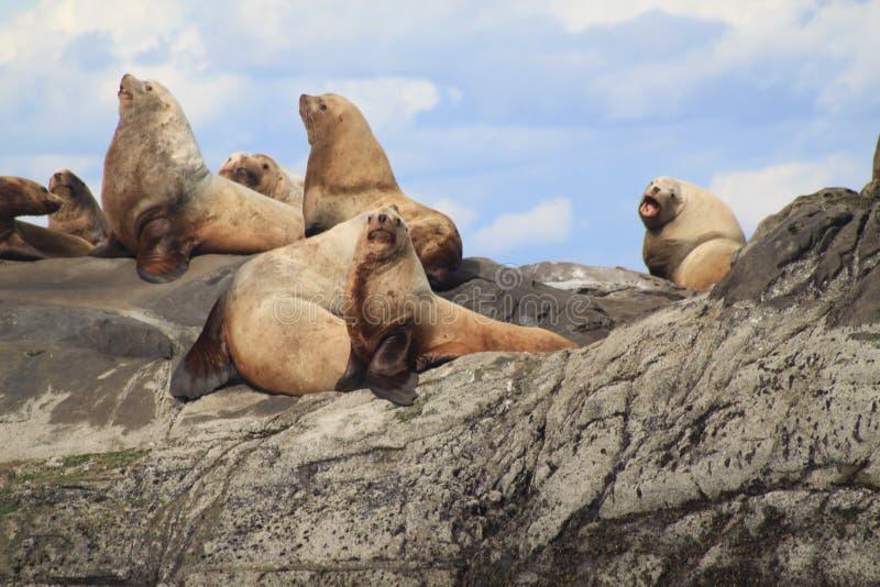 Leões de mar que tomam sol em Belle Chain Islands, BC fotografia de stock