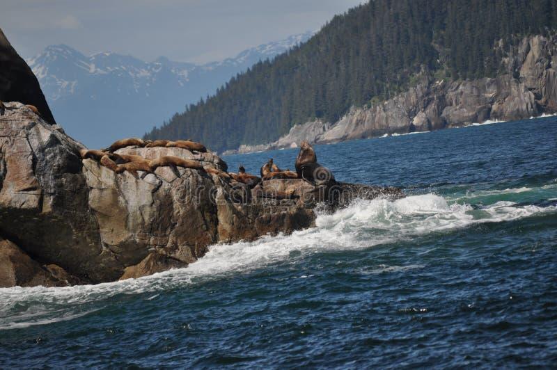 Leões de mar que tomam sol em rochas imagens de stock royalty free