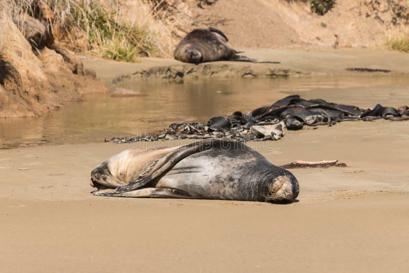 Leões de mar que tomam sol na praia fotografia de stock