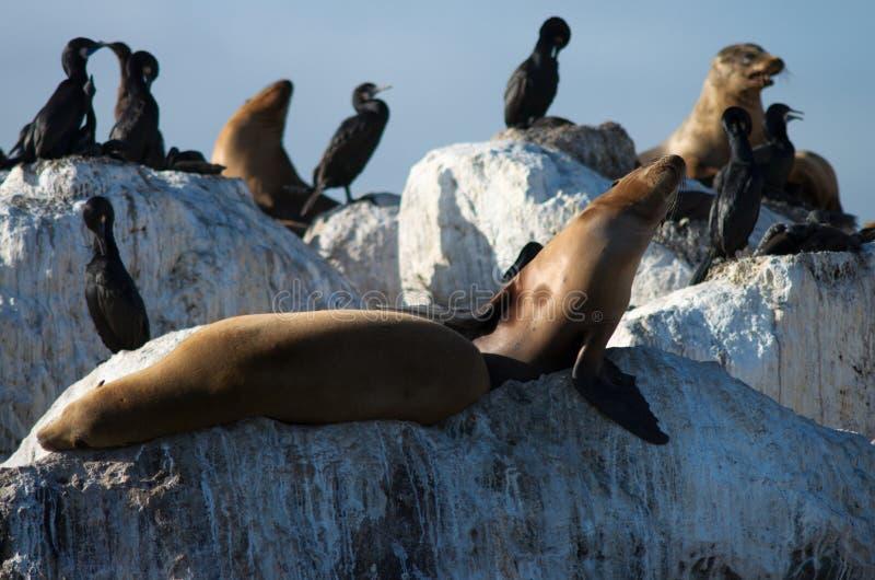 Leões de mar selvagens imagem de stock