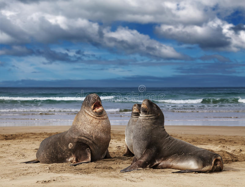 Leões de mar selvagens foto de stock royalty free