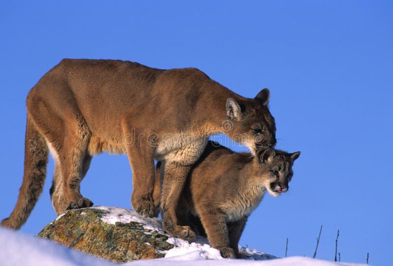 Leões de montanha na rocha imagem de stock royalty free