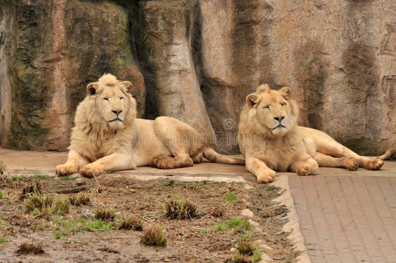Leões do albinismo fotos de stock
