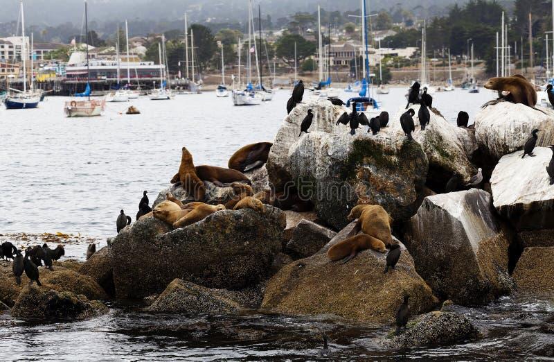 Leões e cormorões de mar na baía de Monterey do quebra-mar imagem de stock
