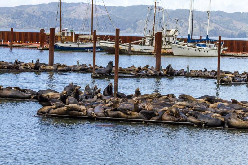 Leões e selos noroestes pacíficos de mar fotos de stock