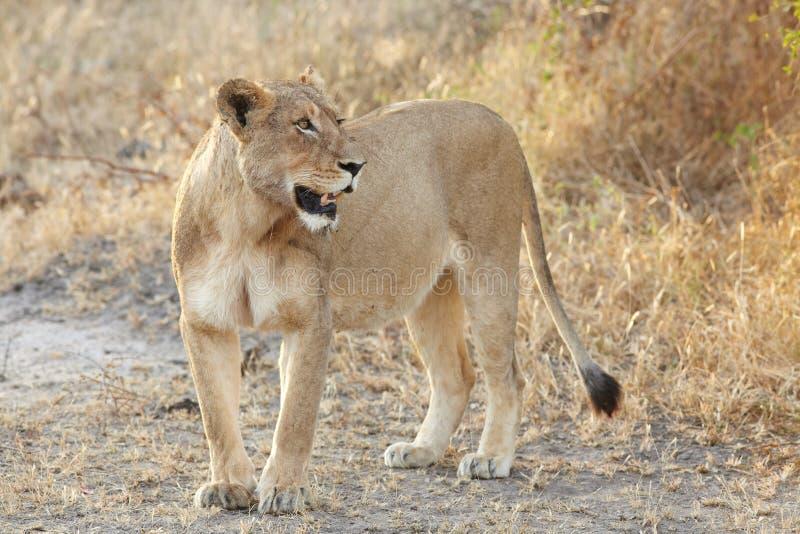 Leões em repouso fotos de stock royalty free