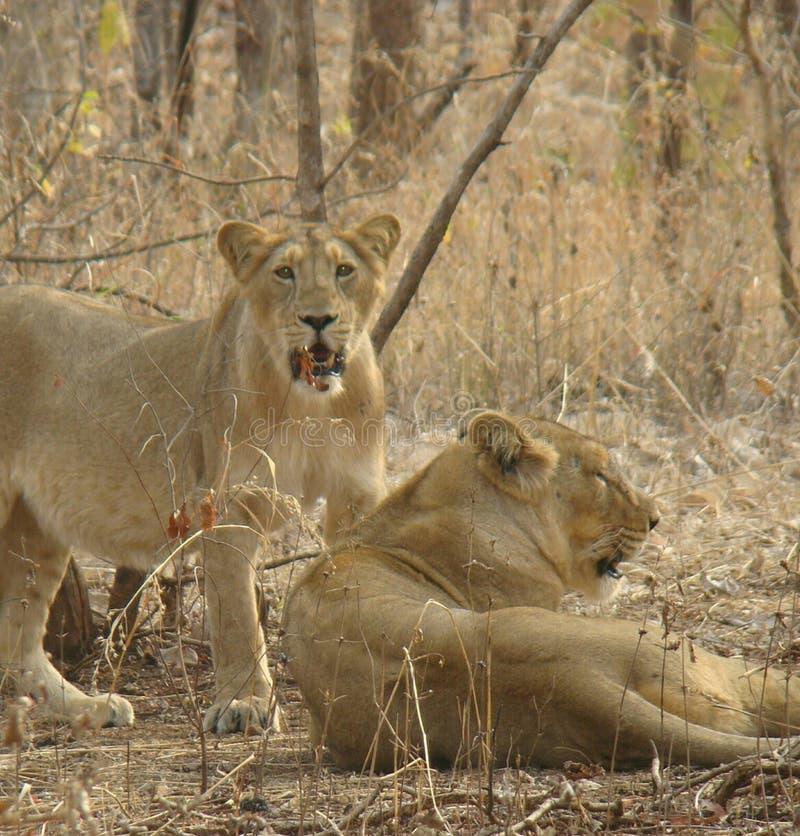 Leões fêmeas indianos imagens de stock royalty free