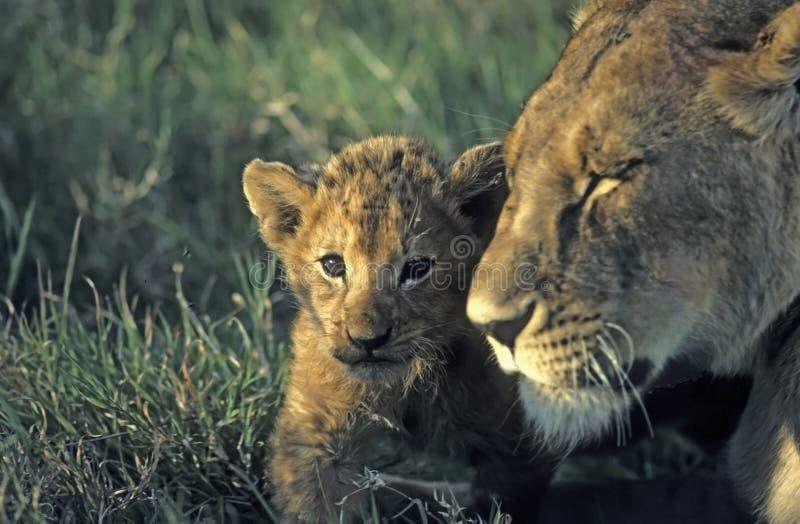 Leões (foco no filhote) imagens de stock