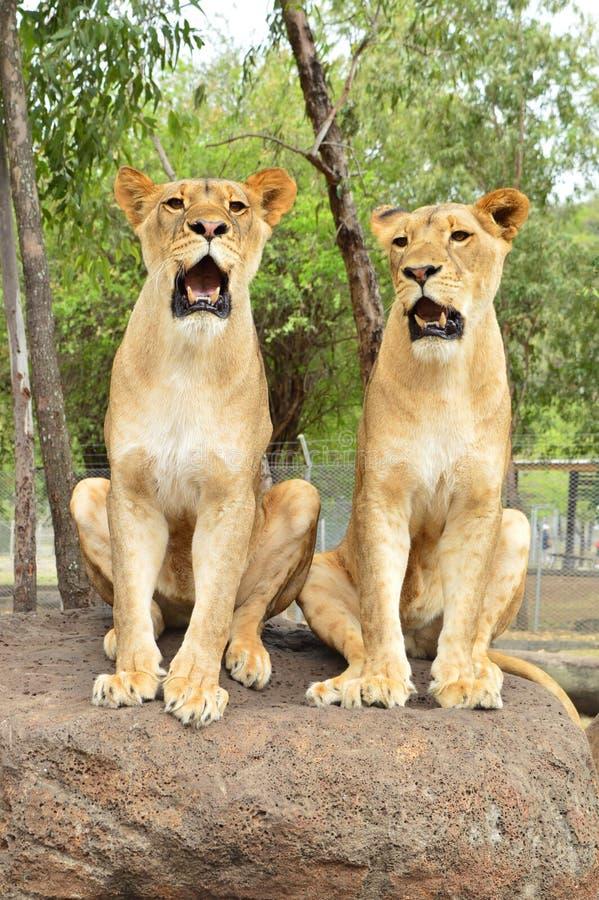 Leões juvenis imagens de stock royalty free