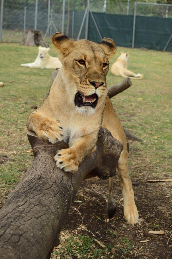 Leões juvenis fotografia de stock royalty free