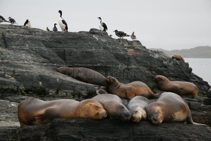 Leões-marinhos e cormorants imagens de stock royalty free