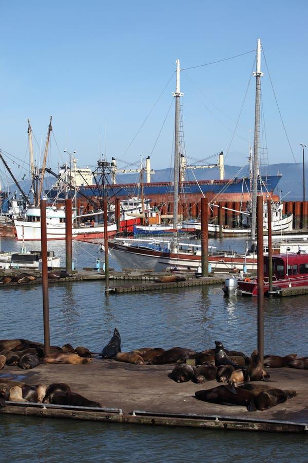 Leões-marinhos em um cais em um porto Astoria, OU. fotografia de stock royalty free