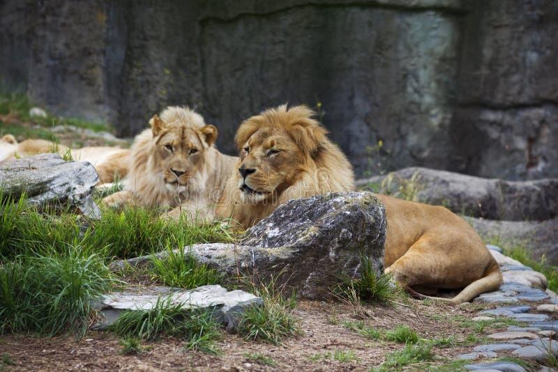 Leões masculinos que colocam entre rochas imagens de stock