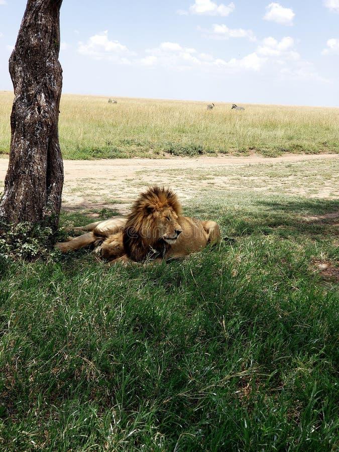 Leões masculinos que descansam sob a árvore no parque nacional de Serengeti, Tanzânia foto de stock