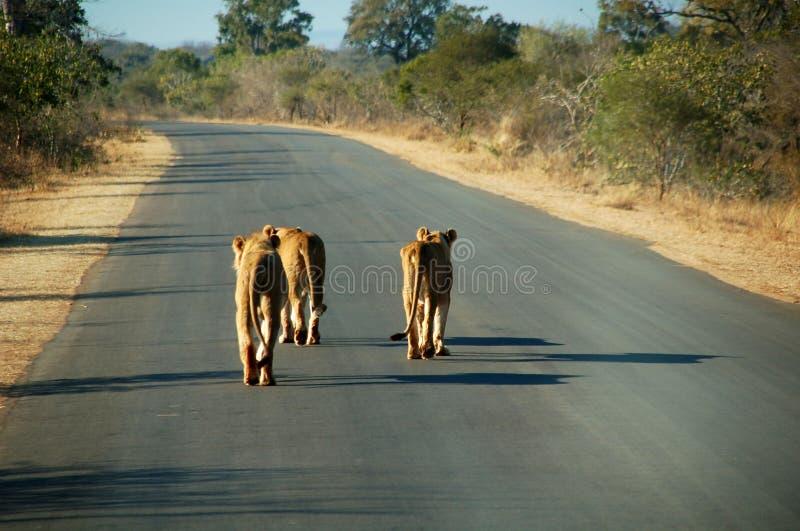 Leões na estrada no nascer do sol foto de stock