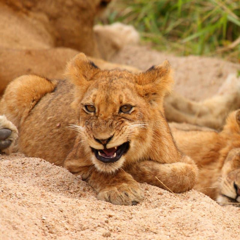 Leões na reserva do jogo da areia de Sabi imagens de stock royalty free