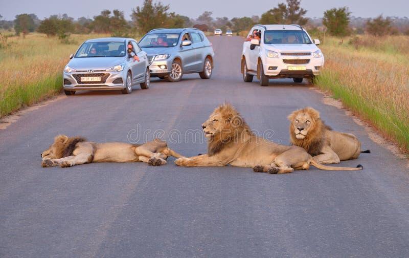 Leões na rua imagem de stock