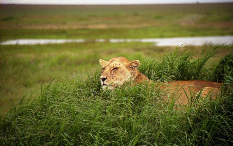 Download Leões na vigia 5 imagem de stock. Imagem de leoa, caça - 105721