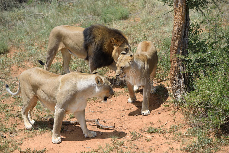 Leões no bushveld, Namíbia foto de stock