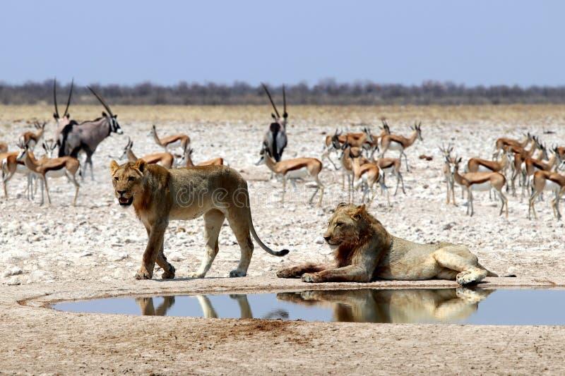 Leões no furo de água - bandeja África do etosha de Namíbia fotos de stock royalty free