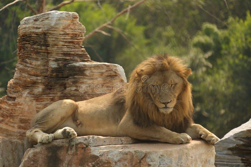 Leões no parque dos animais selvagens do Pequim foto de stock royalty free