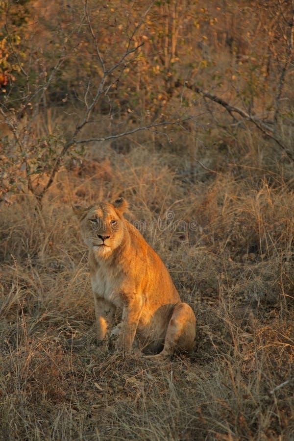 Leões no safari, areias de Sabie foto de stock