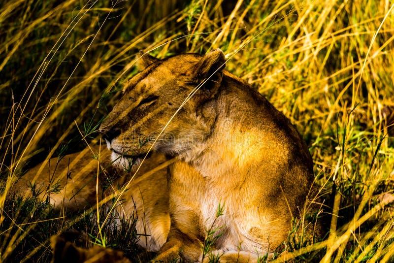 Leões no Serengeti fotografia de stock