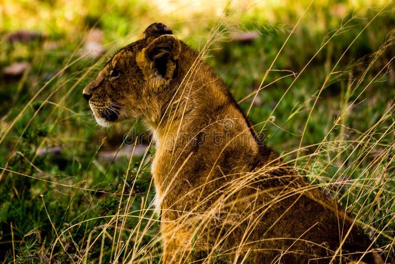 Leões no Serengeti fotografia de stock royalty free