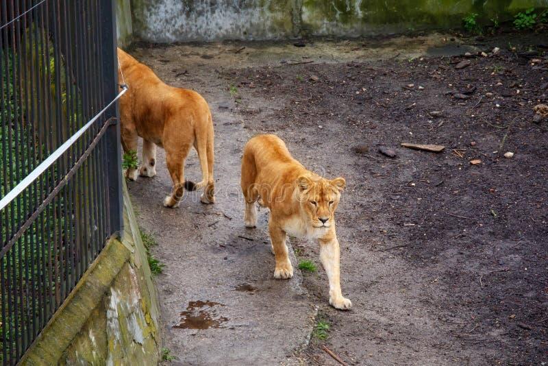 Leões que andam no jardim zoológico fotografia de stock