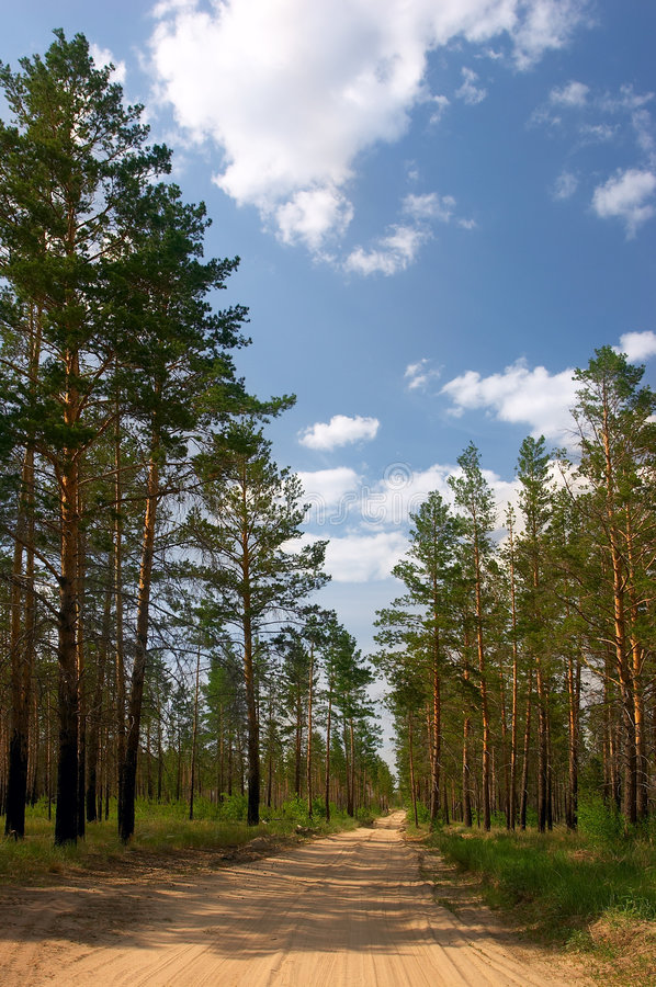 leśny pine letnie dni obrazy stock