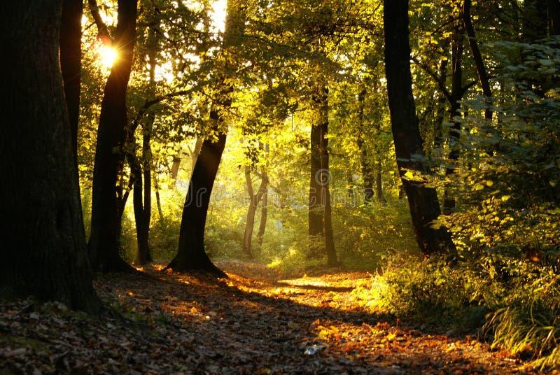 leśny słońca obrazy royalty free