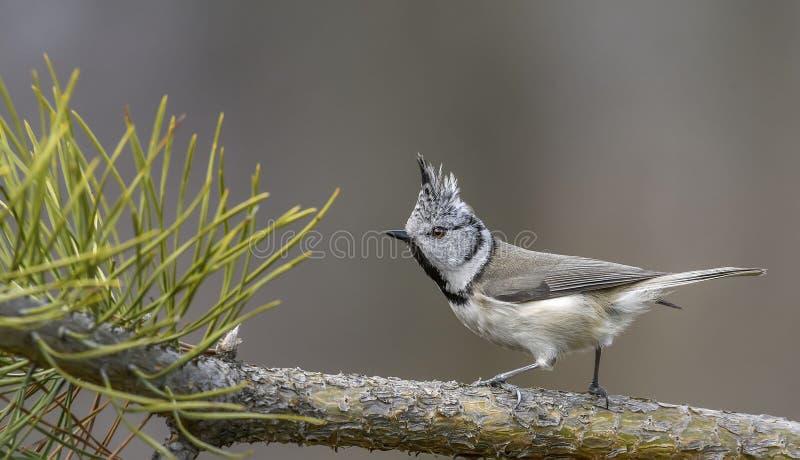 Le ¡ de Ð a reposé la mésange, l'oiseau, l'oiseau avec la crête, oiseau dans la nature photo stock