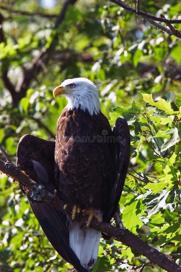 Le ali dell'aquila calva si sono sparse un po'in albero fotografie stock