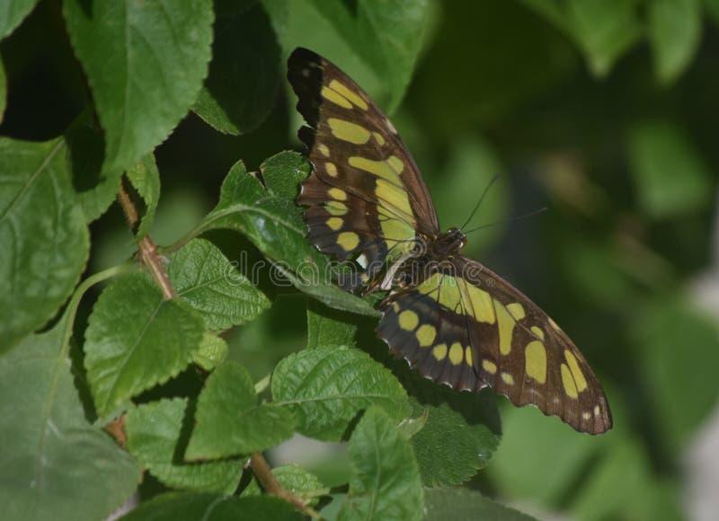 Le ali si sono sparse largamente su una farfalla della malachite in un giardino di Aruba fotografie stock libere da diritti