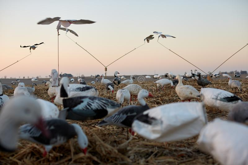 Le anatre dell'esca in zone umide durante uccelli acquatici cercano fotografie stock libere da diritti