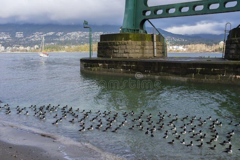 Le anatre di mare della bucephala della carriola nuotano appena fuori dalla traccia al parco di Stanley, Vancouver, BC fotografia stock