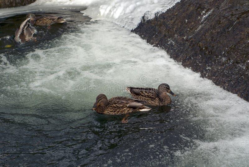 Le anatre nell'inverno sul canale nella città parcheggiano immagini stock