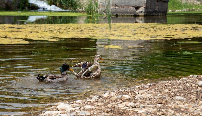 Le anatre nuotano in The Creek fotografie stock libere da diritti