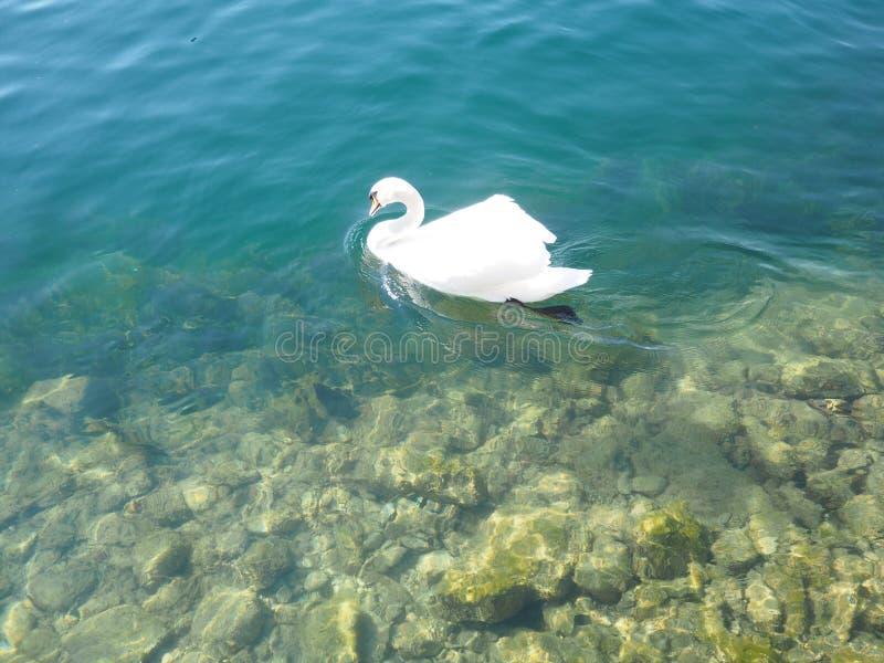 Le anatre nuotano in lago immagine stock