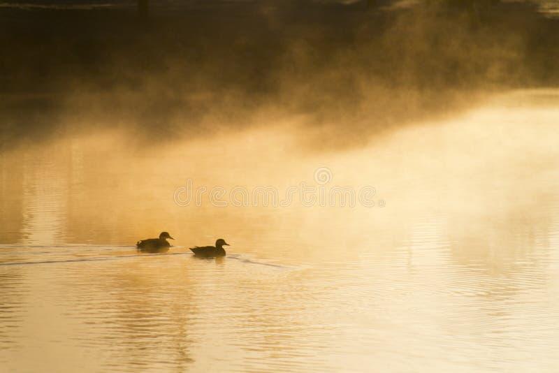 Le anatre nuotano tranquillamente attraverso foschia pesante all'alba calda dell'inverno. immagine stock libera da diritti