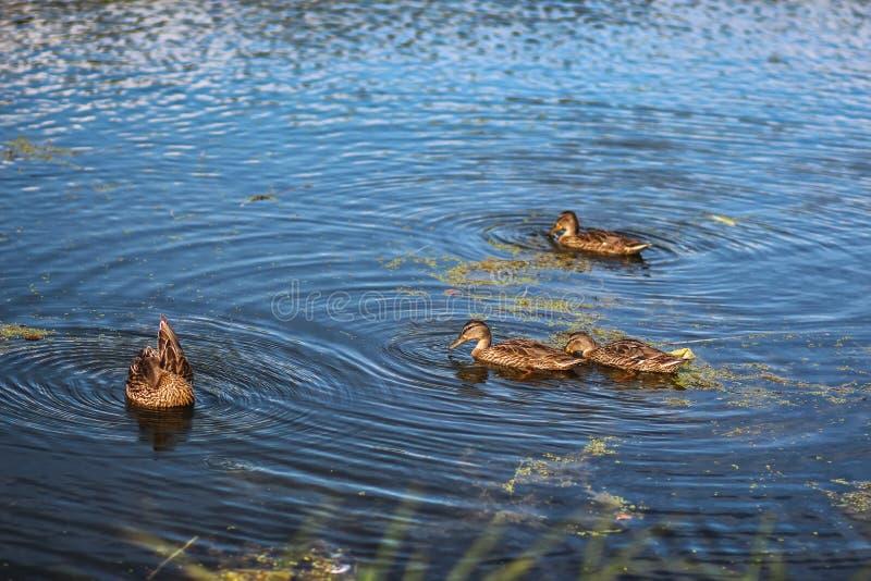 Le anatre selvatiche nuotano nel lago nel tramonto fotografia stock